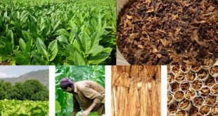 Food Crops And Cash Crops Of Pakistan Names List And Difference